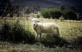 A picture of a lamb in a field peering through a fence